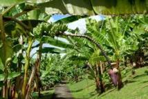 Victime des changements climatiques : Les producteurs de bananes de Tamba  lancent un cri du cœur