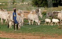 Les éleveurs du Saloum bandent les muscles contre les maires