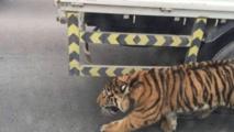 Un tigre dans les rues de Doha