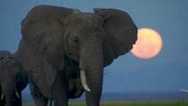 Le Kenya va brûler 105 tonnes d'ivoire