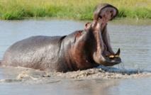 Tambacounda - 24 personnes tuées par l'hippopotame: l'aval des autorités compétentes attendu pour...