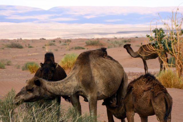 Protection du couvert végétal : les éleveurs expulsés de Dakar - Tollé en Mauritanie