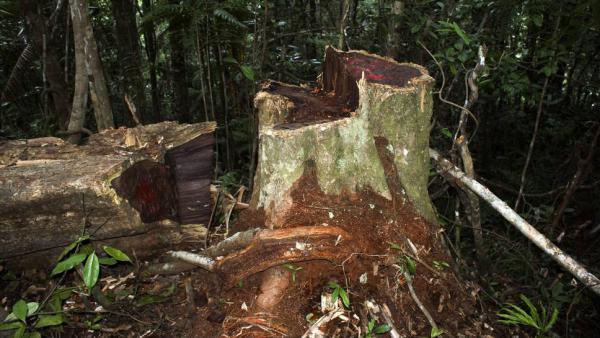 Singapour: ouverture du procès du trafic de bois de rose de Madagascar