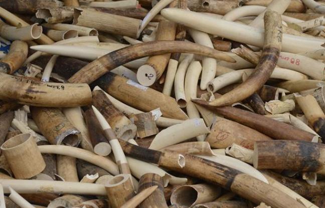 Criminalité faunique au Sénégal: 3 trafiquants d'ivoire condamnés à 3 mois de prison ferme