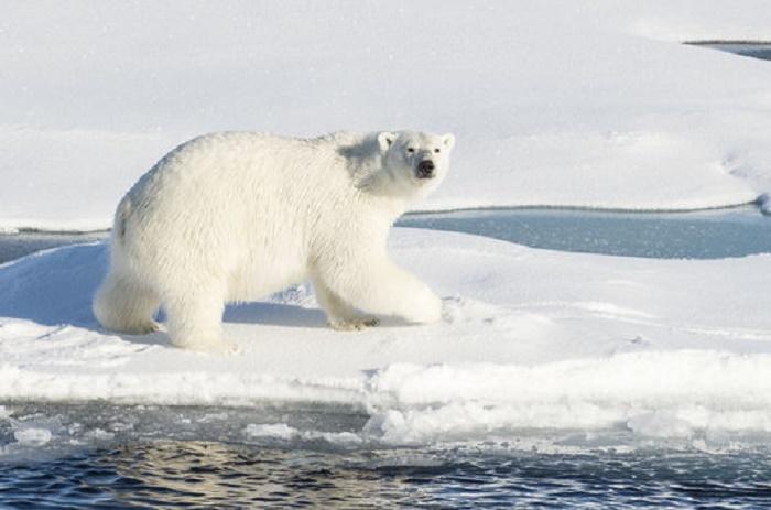Cinq scientifiques russes encerclés par des ours polaires dans l'Arctique
