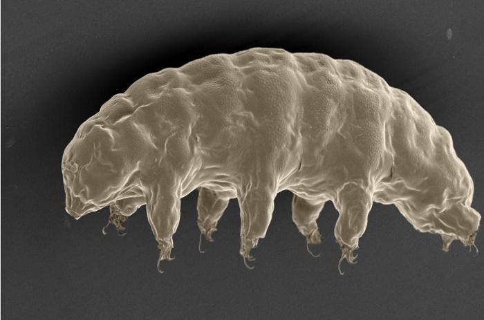 Santé: Un animal quasi indestructible pourrait partager ses supers pouvoirs avec l'être humain