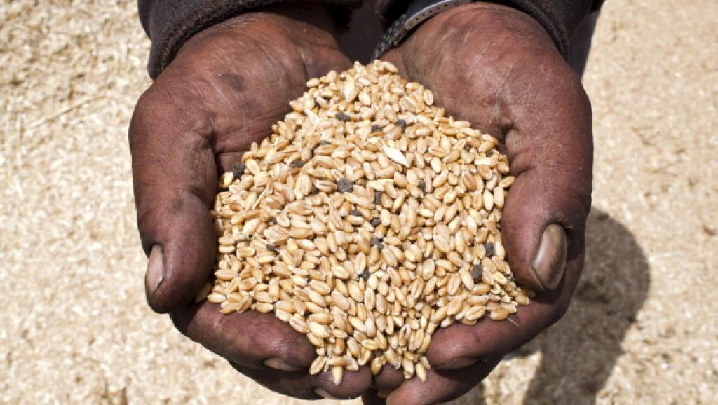 L'ergot, une maladie du blé, contamine les réseaux sociaux en Egypte