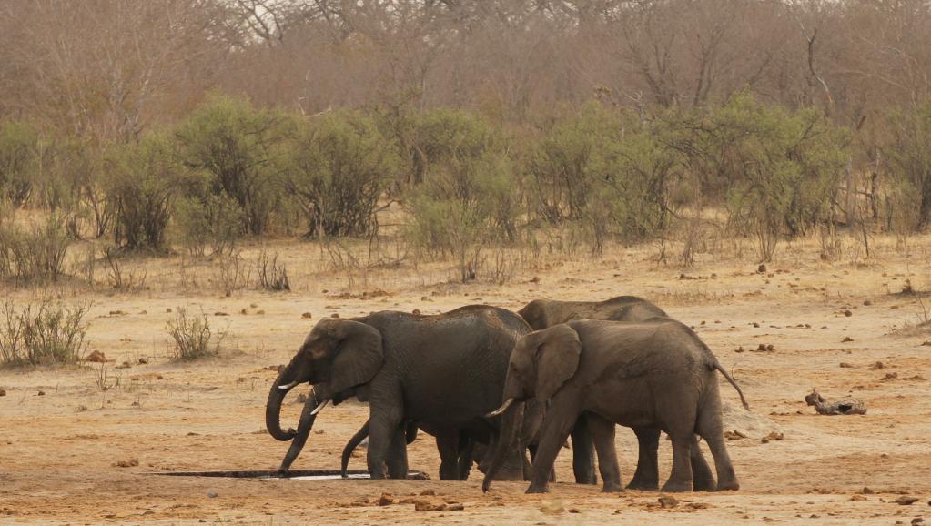 Afrique du Sud: pas de protection accrue pour les éléphants d'Afrique