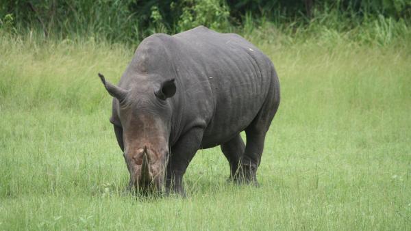 Côte d'Ivoire: le rhinocéros de Dimbokro