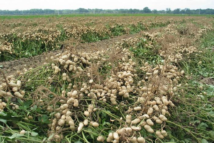 Bons présages pour l'arachide : Un million de tonnes escompté cette année selon El Hadj Traoré.