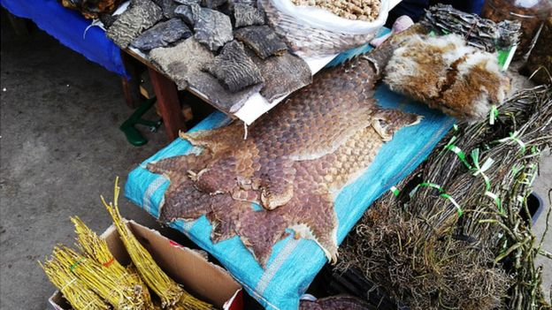 Le pangolin, une viande très appréciée au Gabon