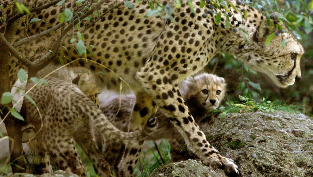Le guépard pourrait bientôt être en voie d'extinction
