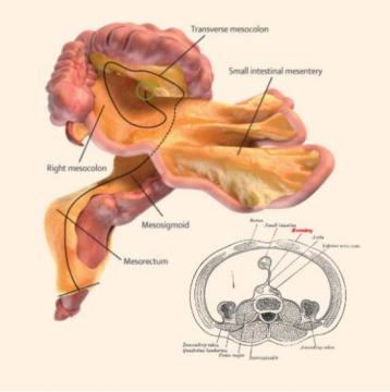 Un 79e organe découvert dans le corps humain
