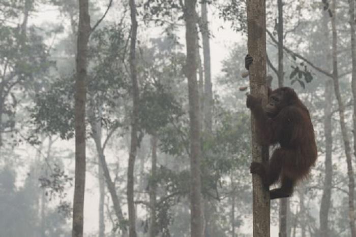Les singes pourraient disparaître de la planète d'ici vingt-cinq ans à cinquante ans