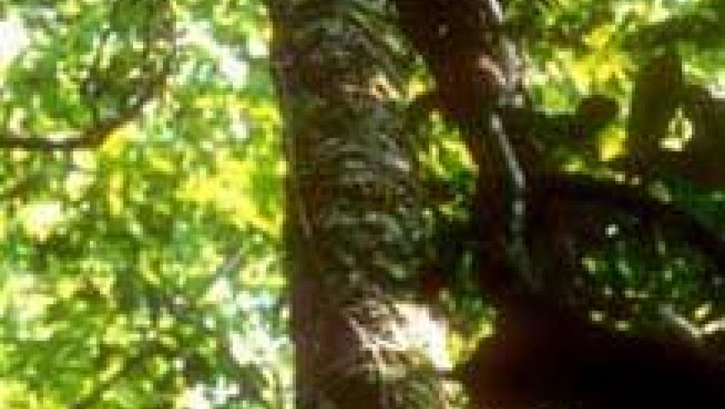 Trafic de bois de rose à Madagascar Singapour condamne un  ~ Bois De Madagascar
