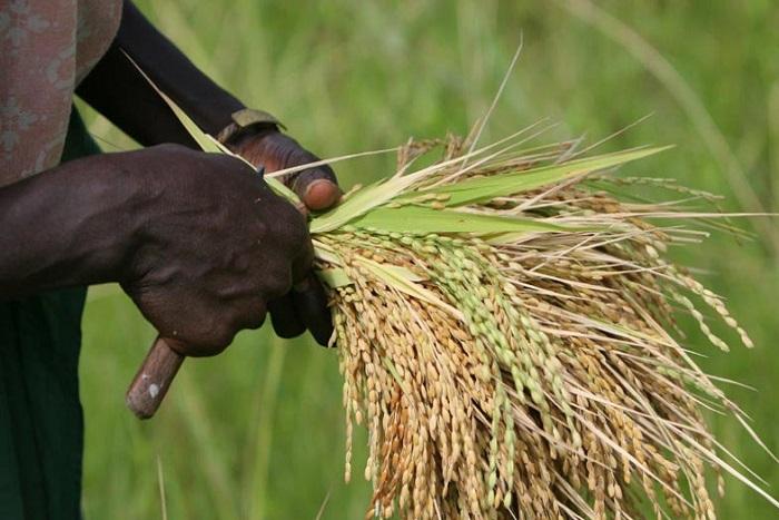 Journée du riz du 13 mai : Ronkh célèbre ses producteurs