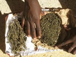 2 cultivateurs arrêtés, 123,2 kilogrammes de chanvre indien saisis par l'OCRTIS et le Commissariat de Police de Jaxaay