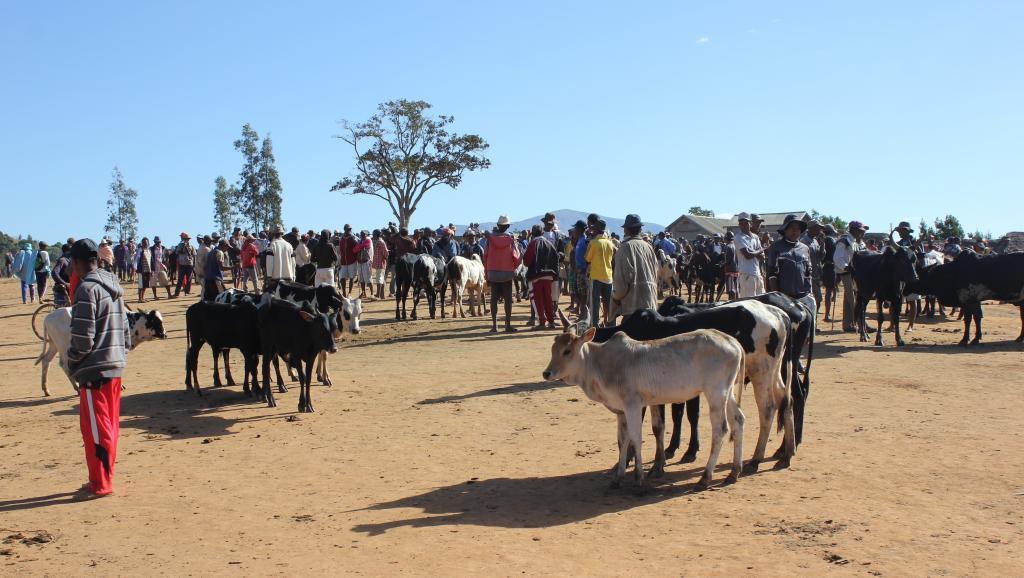 Madagascar: fin du bras de fer entre éleveurs de zébus et autorités