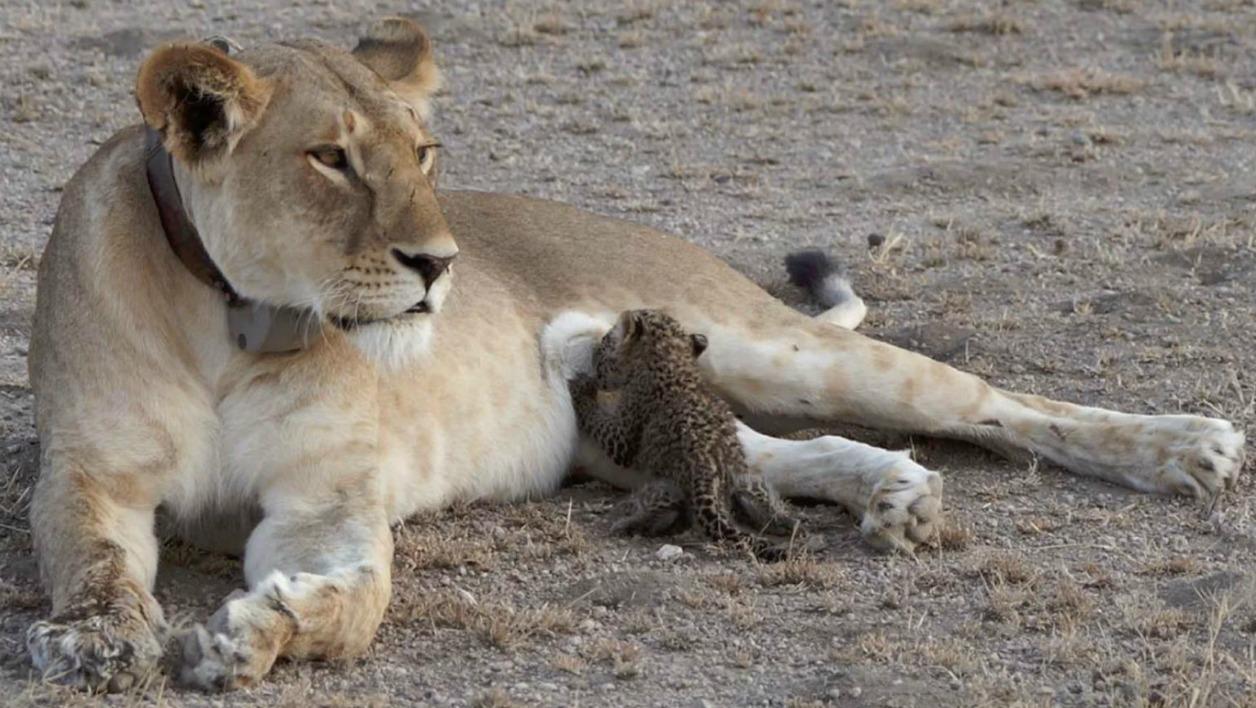 Pour la première fois, une lionne a été observée en train d'élever un bébé léopard