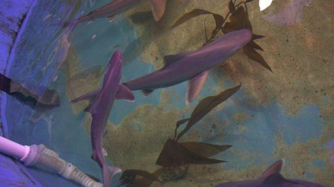 Etats-Unis: 10 requins trouvés dans un domicile