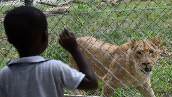 Afrique du Sud : des lions en fuite