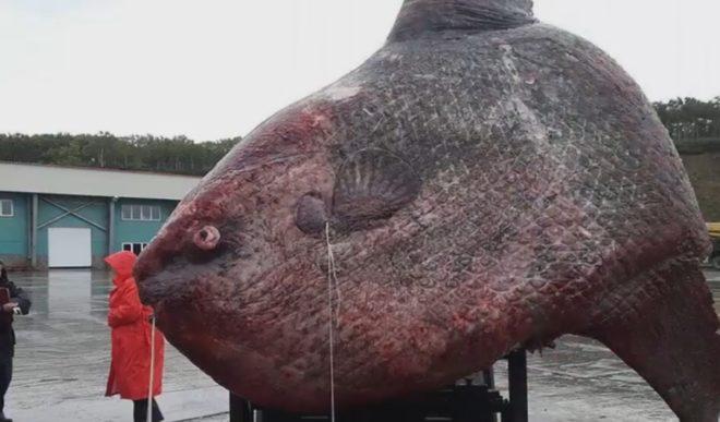 Russie : Un poisson-lune de plus d'une tonne pêché dans le Pacifique