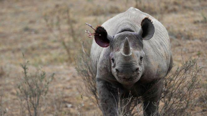 Afrique du Sud : nouvelle technique d'exportation des cornes de rhinocéros