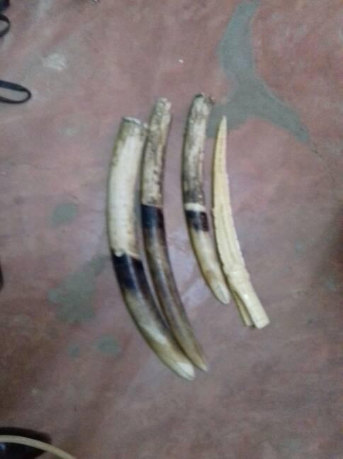 Un ex-marin arrêté en possession de 4 pointes d'ivoire