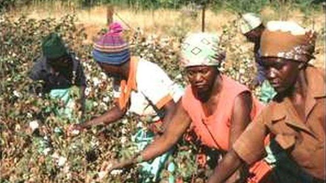 Coton : le Mali, premier producteur en Afrique