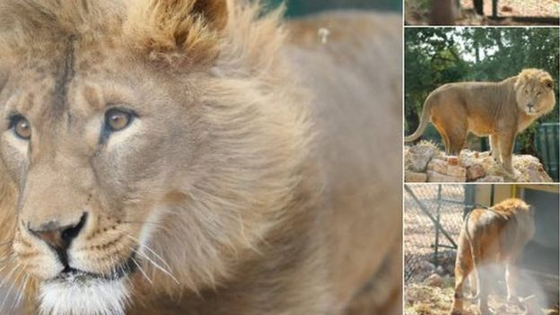 Syrie : deux lions exilés en Afrique du Sud