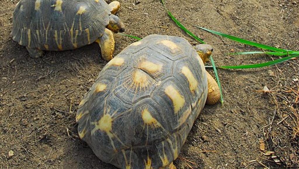 Madagascar: les tortues radiées, une espèce toujours menacée par les braconniers