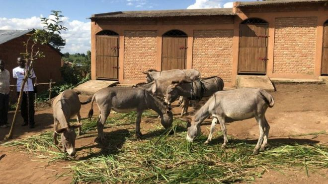 Bujumbura refuse les ânes offerts par Paris