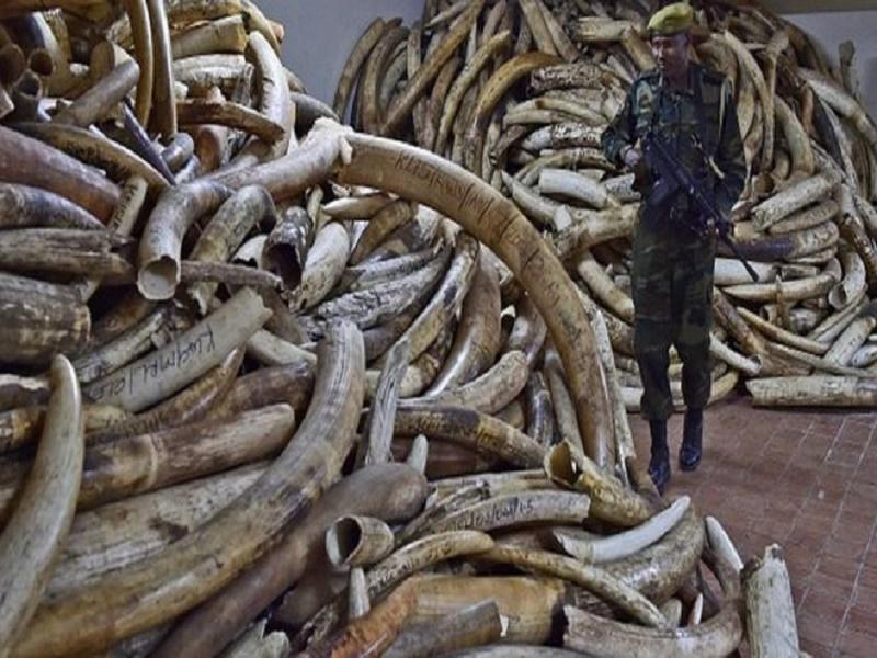 L'ADN pour démanteler les réseaux de contrebande d'ivoire