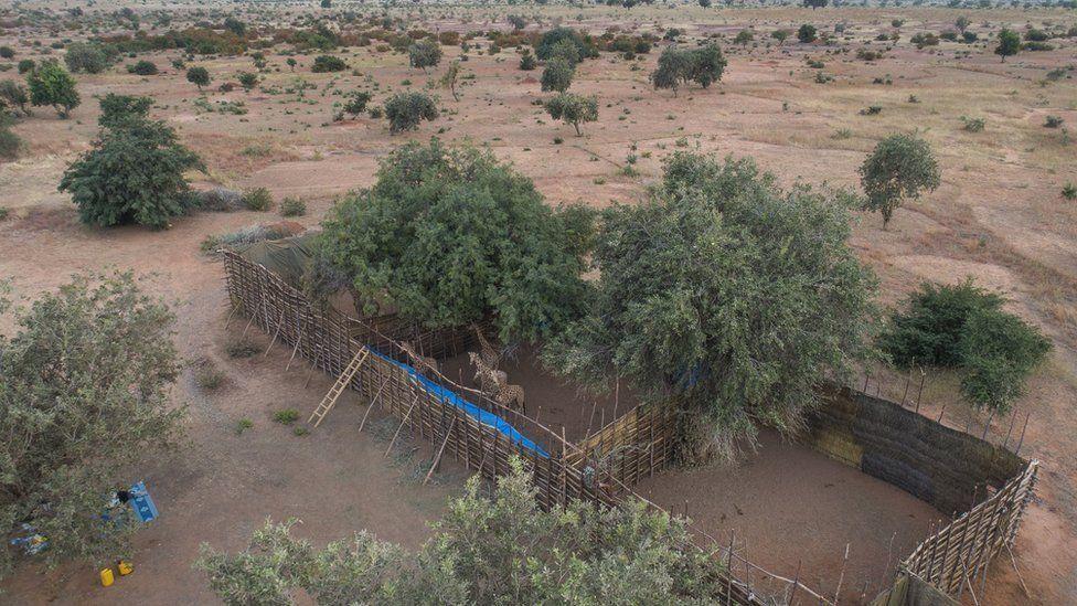 Les girafes d'Afrique de l'Ouest sous protection au Niger