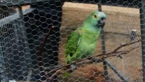 """Un perroquet placé en garde à vue après avoir crié """"Maman, la police """" !"""