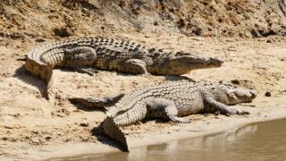 La Tanzanie va vendre 10% de ses crocodiles