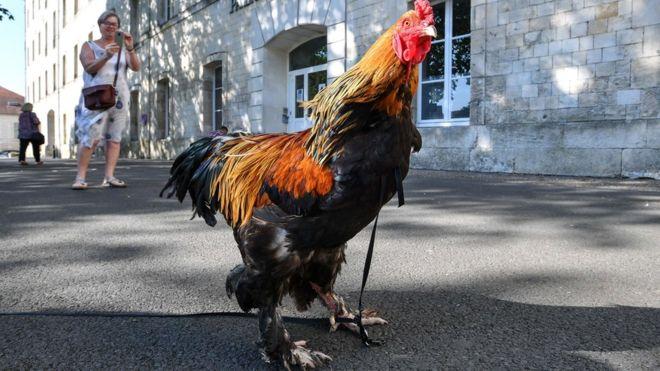 Un coq accusé de nuisance sonore gagne son procès