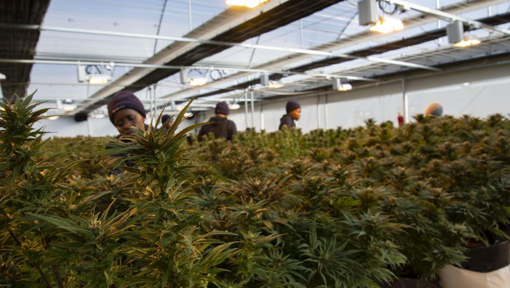 Lesotho, au royaume où le cannabis se transforme en «or vert»