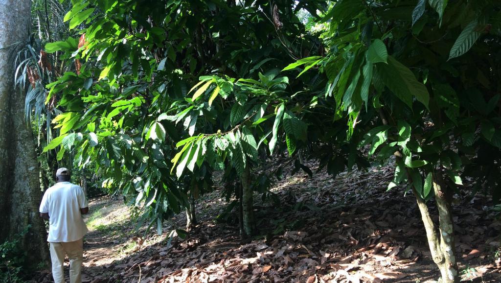 Côte d'Ivoire: réunion sur le cacao et la déforestation sous l'égide de l'UE