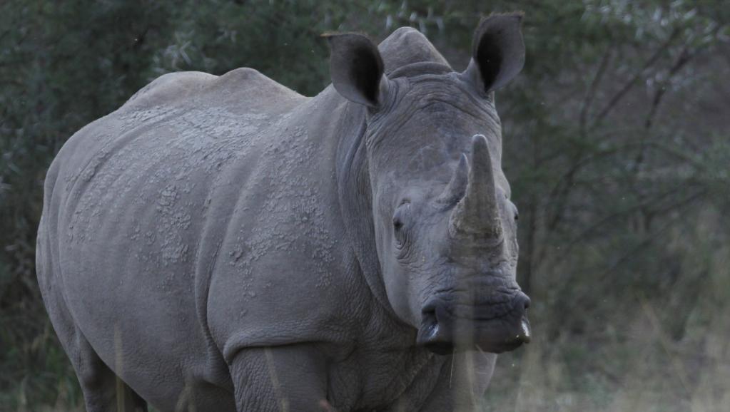 Botswana: les actes de braconnage contre les rhinocéros se multiplient