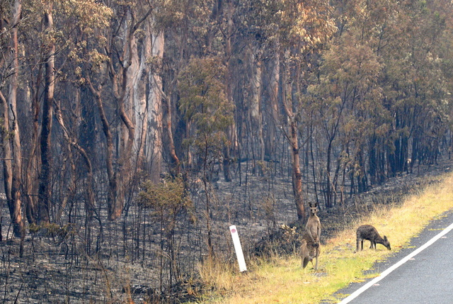 Un demi-milliard d'animaux morts en Australie, un chiffre à prendre avec prudence