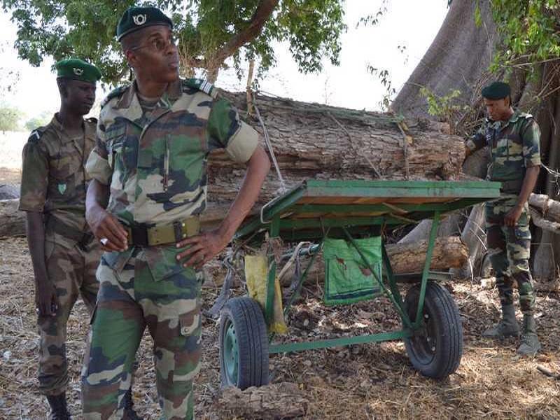 Trafic illégal: 12 charrettes et 20 troncs de bois de veine saisis à Kolda