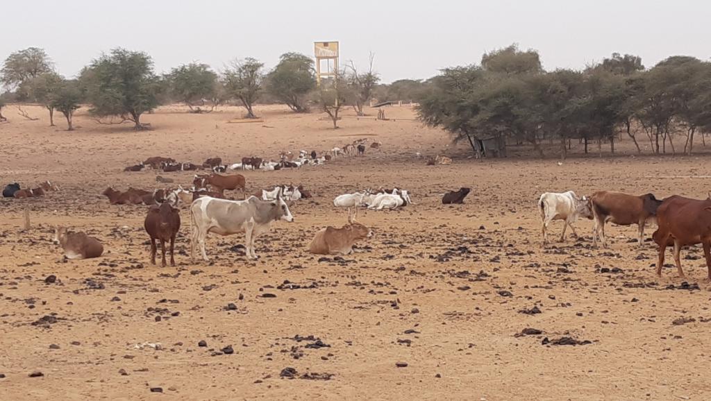 Les problèmes de l'élevage à Kraa Lahmaar en Mauritanie