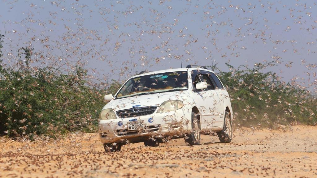 La Somalie décrète l'état d'urgence face aux criquets pèlerins