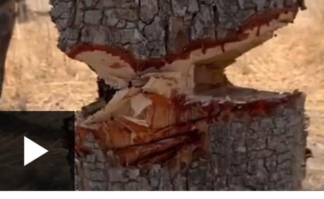 La Gambie a exporté plus de 300 000 tonnes de bois de rose vers la Chine