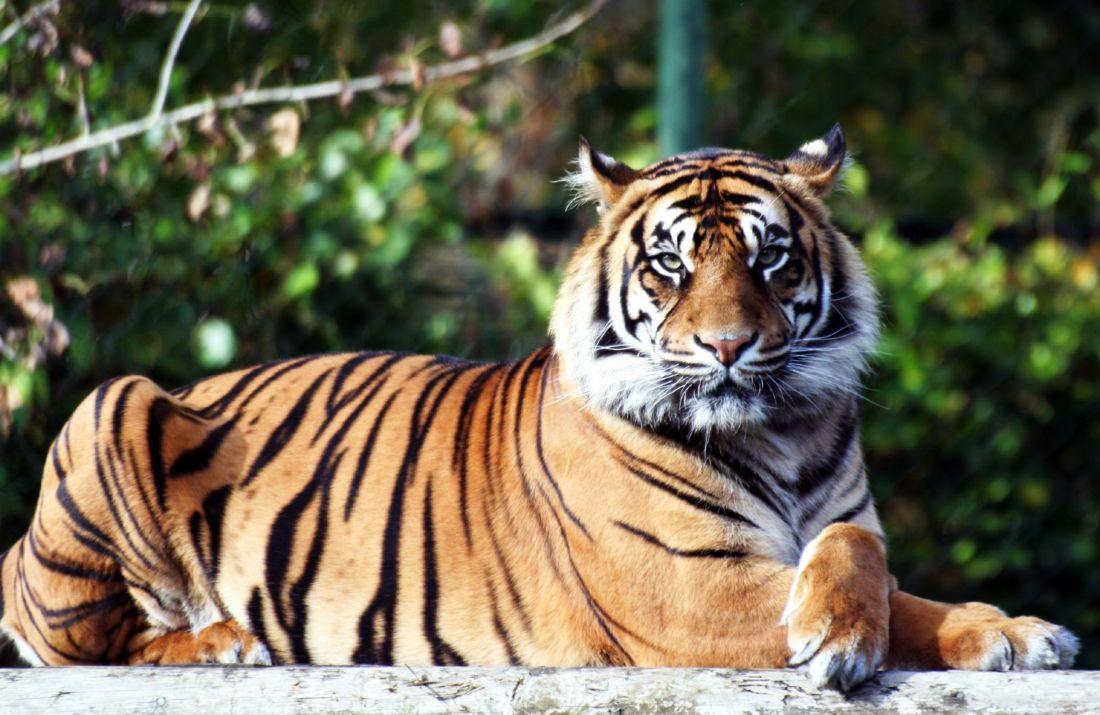 Coronavirus : un tigre d'un zoo de New York testé positif