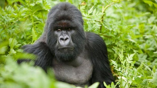 Les gorilles pourraient être vulnérables aux complications liées au Covid-19