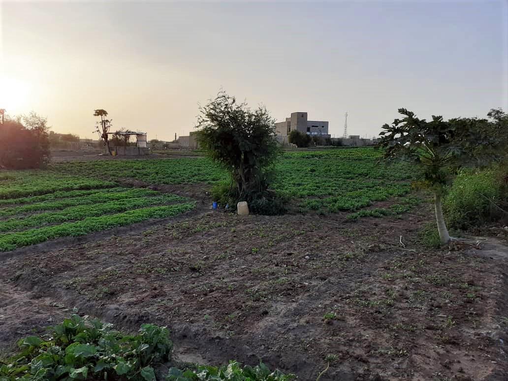 La pandémie du COVID-19: une légitimation de la promotion de l'agriculture urbaine, par Docteur Sidy Tounkara