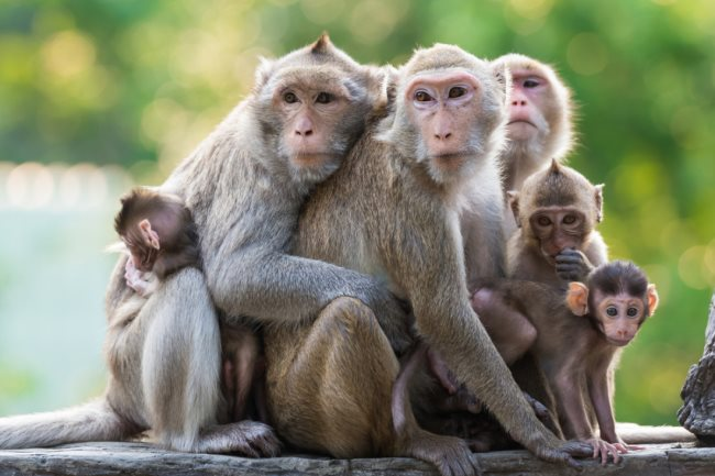 Un vaccin américain contre le Covid-19 donne des résultats prometteurs chez les singes