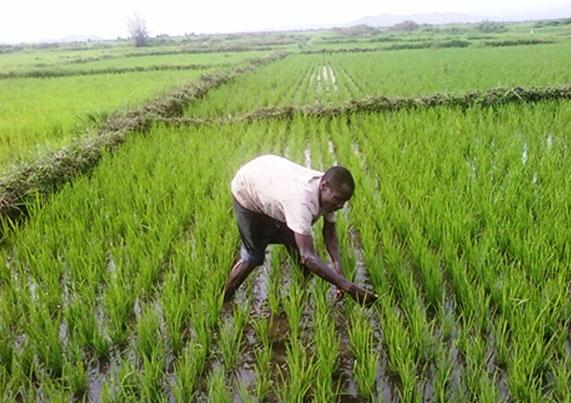 Riziculture au Sénégal: La production estimée à 1 155 337 tonnes pour la campagne 2019/2020